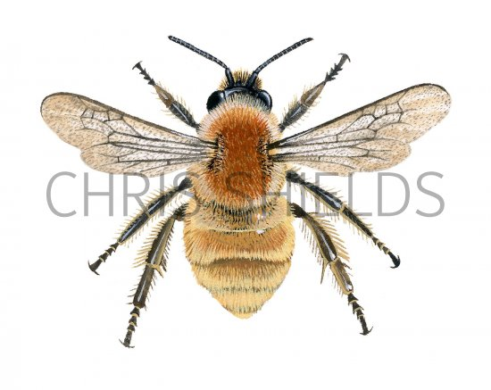 Bumblebee (Brown-banded Carder) Bombus Humilis IN001