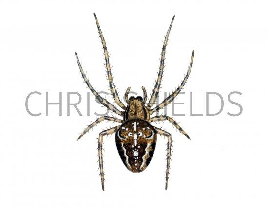 Garden Spider Araneus Diadematus Os002 Illustration Other Invertebrate Illustrations By