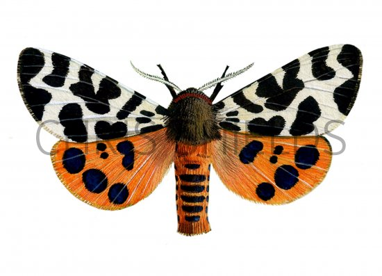 Tiger Moth Insect http://www.illustratedwildlife.com/illustrations/index.php?image_id=872&category_id=7