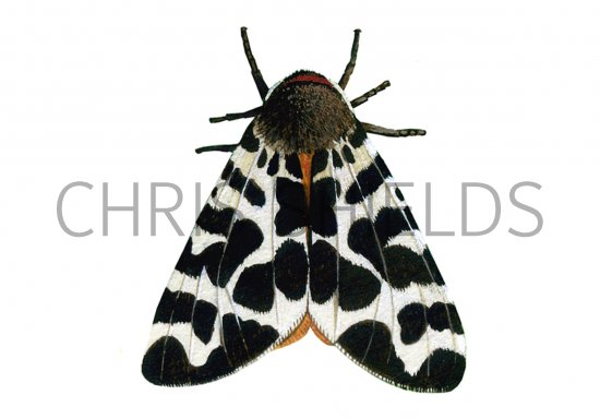 Tiger Moth Insect http://www.illustratedwildlife.com/illustrations/index.php?image_id=924&category_id=7