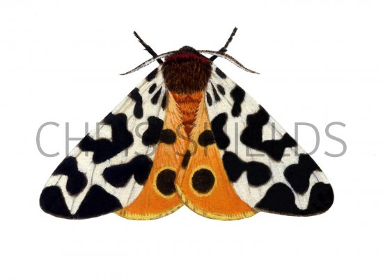 Tiger Moth Insect http://www.illustratedwildlife.com/illustrations/index.php?image_id=1424&category_id=7
