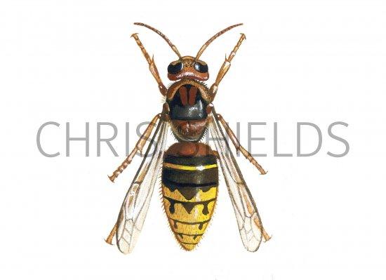 IH086 - Hornet queen  Vespa crabro Queen Hornet Insect