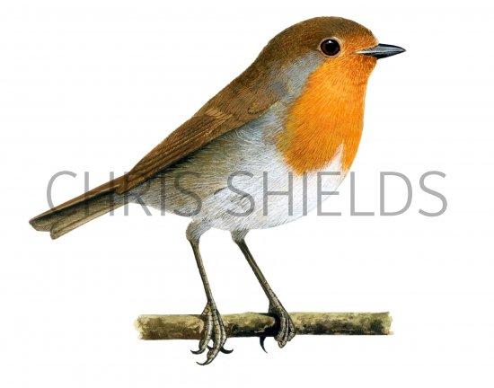 Robin (Erithacus rubecula) BD012 Illustration | Bird ...