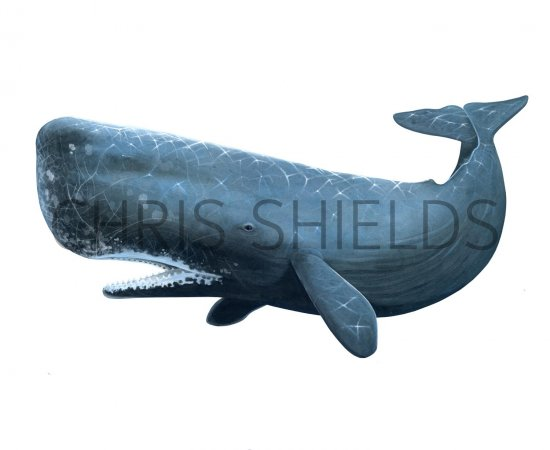 Matchless Sperm whale illustrations