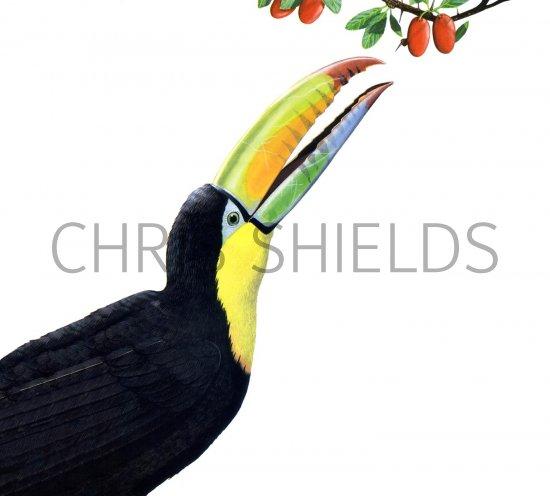 Wildlife Illustrator And Wildlife Artist Chris Shields Wildlife Illustrations Wildlife Wiring Diagram