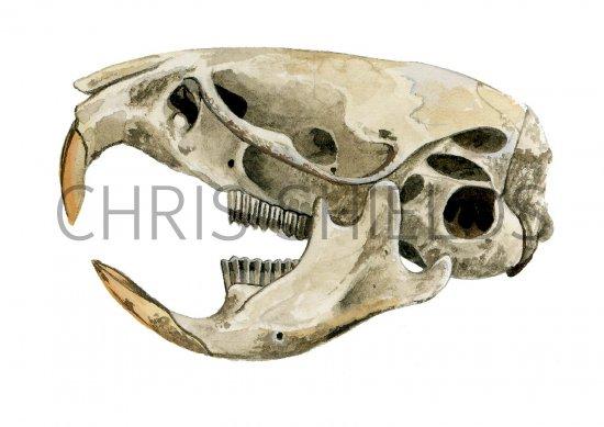 Vole Skeleton Head Vole Skull  Microtus arvalis