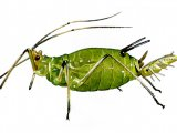 Aphid IN001