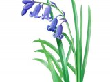 English Bluebell (Hyacinthoides non-scripta) BT0171