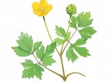 Creeping buttercup (Ranunculus repens) BT0195