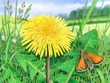 Dandelion (Taraxacum officinale) and Small Skipper BT0203