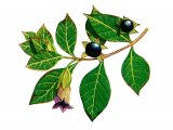 Deadly Nightshade (Atropa belladonna) BT0205