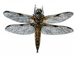 Dragonfly (Four-Spotted Chaser Libellula quadrimaculata IN001