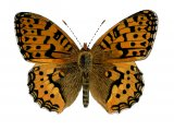 Fritillary (Dark Green) Argynnis aglaja IN001