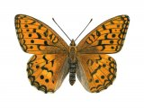 Fritillary (High Brown) Fabriciana adippe IN001
