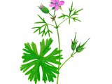 Geranium dissectum (Cut-leaved Cranes-bill) BT0220