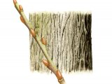 Goat Willow bark & twig (Salix caprea) BT023