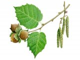 Hazel nuts, catkins, leaves & flowers(Corylus avellana) BT029