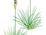 Heath Rush (Juncus squarrosus) BT0238