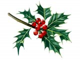Holly leaves & berries (Ilex aquifolium) BT033
