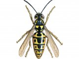 IH061 - Common Wasp (Vespula vugaris)
