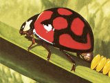Lunate Ladybird (Chilomenes lunata) IN001