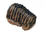 PF030 - Mammoth Tooth Fossil