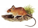 Mouse - wood (Apodemus sylvaticus) M006