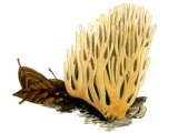 Ramaria stricta (Upright Coral) FU001