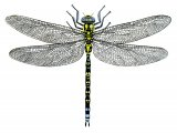 Dragonfly (Southern Hawker) Aeshna cyanea IN003