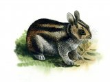 Rabbit (Sumatran Striped) Nesolagus netscheri M001