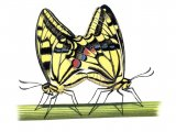Swallowtail Butterfly ( Papilio machaon) IN001