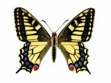 Swallowtail Butterfly (Papilio machaon) IN002