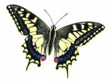 Swallowtail Butterfly ( Papilio machaon) IN003