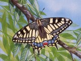 Swallowtail Butterfly ( Papilio machaon) IN005