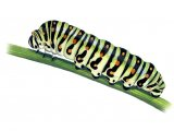 Swallowtail Caterpillar (Papilio machaon) IN001