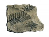 PF042 - Treefern Frond Fossil (Pecopteris)