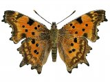 Comma (Polygonia c-album) IN001