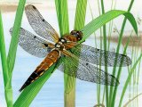 Dragonfly (Four-Spotted Chaser) Libellula quadrimaculata IN003